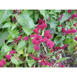 STRAWBERRY SPINACH Chenopodium capitatum SEEDS