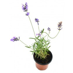 LAVANDA OFFICINALIS Lavandula officinalis POT