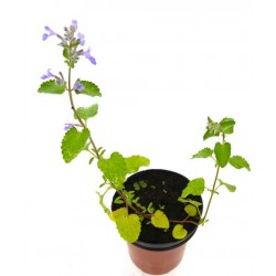HIERBA GATERA Nepeta cataria POT