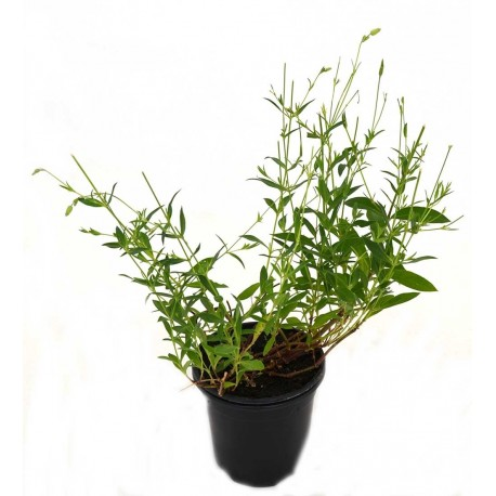 COLLEJAS Sillene vulgaris POT