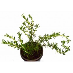 ROMERO Rosmarinus officinale POT