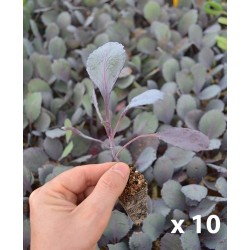 CABBAGE red PLANTER (10 units)