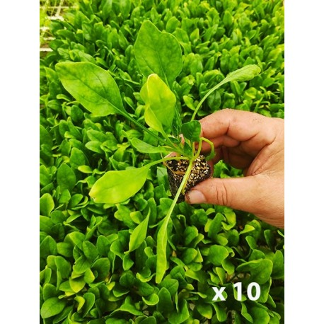 Spinach plant (10 units)