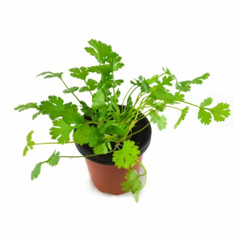 CILANTRO Coriandrum sativum POT