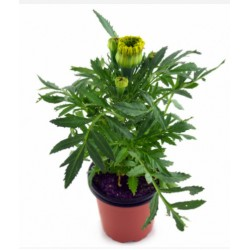 CLAVEL DE INDIAS YELLOW Tagete erecta POT