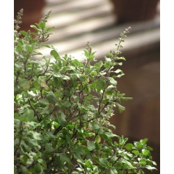 GREEN TULSI Ocimum tenuiflorum SEEDS