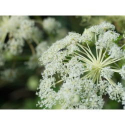 ANGELICA FROM CHINA Angelica dahurica SEEDS