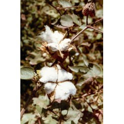 COTTON Gossypium sp. SEEDS