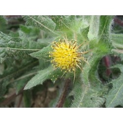 HOLY THISTLE Cnicus benedictus SEEDS